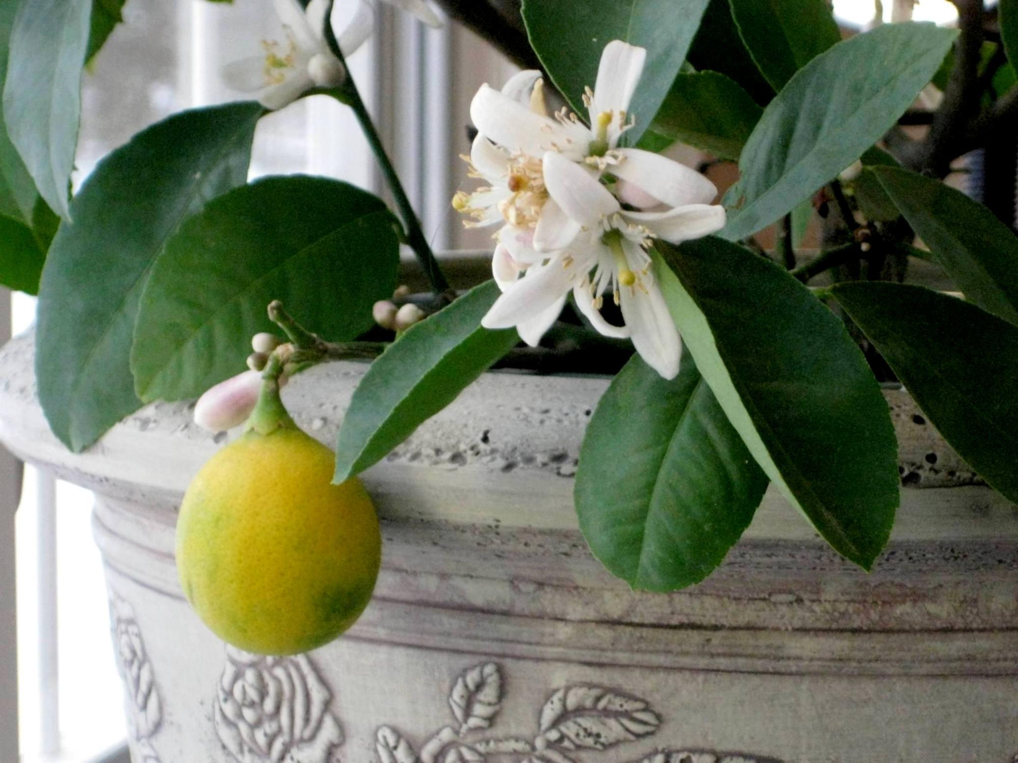 Comment Cultiver Un Citronnier En Pot comment planter un citronnier ?
